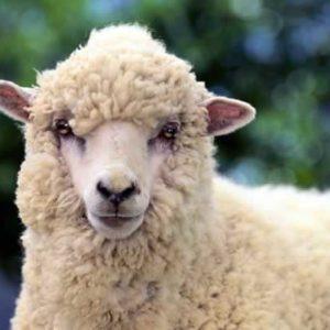 sheep-78776724-600x402
